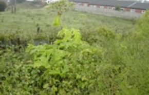 giant-hogweed-in-flower