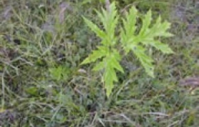 giant-hogweed-seedling