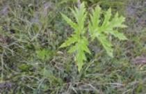 giant-hogweed-seedling