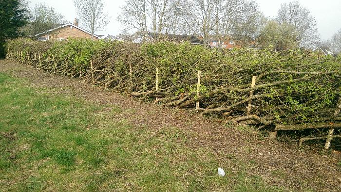 Hedgelaying 1