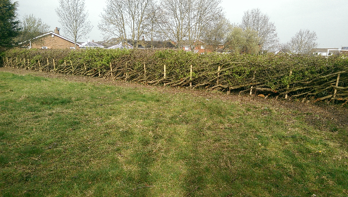 Hedgelaying 2