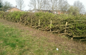 Hedgelaying 1