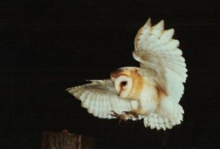 Barn Owl flying