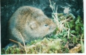 Watervole close up